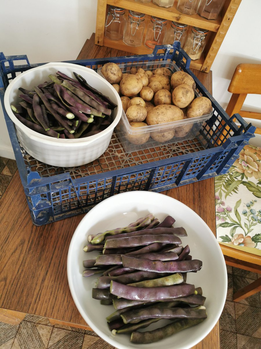Today's harvest of New spuds and purple Runner Beans. My first Rose flowers too. What a sweet scent. #gardeningpic.twitter.com/4rFVkRe2B5