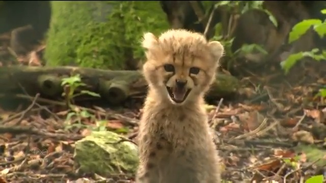 #WATCH 🐆🐆🐆 The public's been asked to name three new cheetah cubs who were born in Fota Wildlife Park in #Cork  @PaulByrne_1 reports⤵️  #VMNews | @fotawildlife https://t.co/YtYjNGmHmO