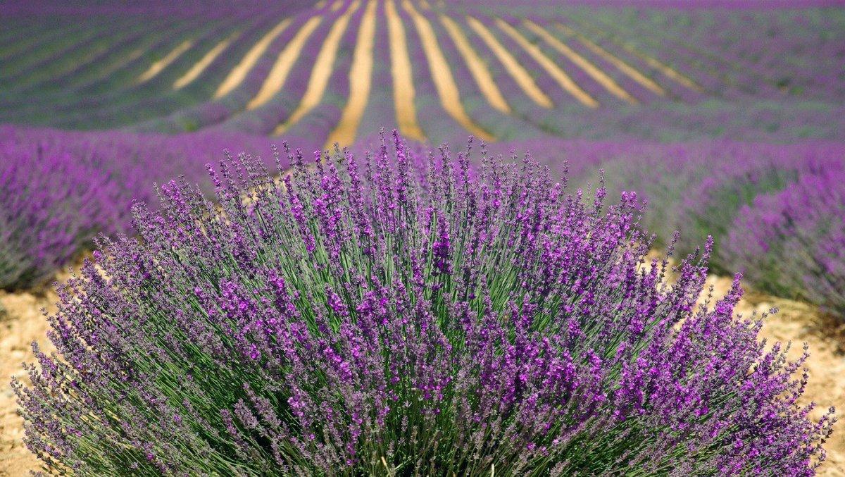 The Best English Lavender Fields to Visit https://www.happydaystravelblog.com/english-lavender-fields/…pic.twitter.com/STbX5RFLsg