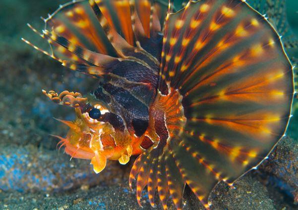 Lionfish by jon hanson License = Attribution-ShareAlike 08.07.2020 #reefporn #zoanthids #reefpack #saltwateraquarium #sealife #aquariums #saltwater #seahorse #jellyfish #reef #coralreef #ocean https://bit.ly/2cjbMp5pic.twitter.com/O6xcgIM2a7