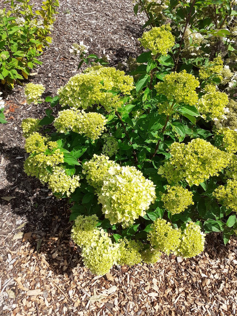Hydrangea paniculata Little Lime is our #Hydrangea of the day ! #DarleyPark #Derbypic.twitter.com/t5wko9aPYg