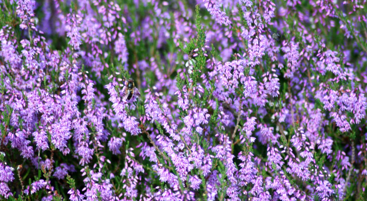 August is a great time for spotting some of our favourite boggy plants: Heather (Calluna Vulgaris) - flowering season begins around now and gives the windfarm a pinky-purple colour. pic.twitter.com/5ICQlLgJHK