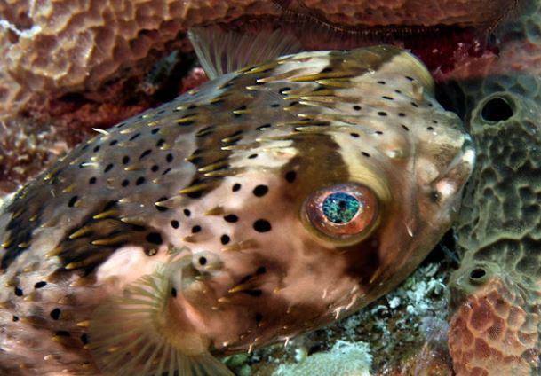 Porcupine pufferfish by Tam Warner Minton License = Attribution 08.07.2020 #reefporn #zoanthids #reefpack #saltwateraquarium #sealife #aquariums #saltwater #seahorse #jellyfish #reef #coralreef #ocean https://bit.ly/2cjbMp5pic.twitter.com/HUhYCgbfXq
