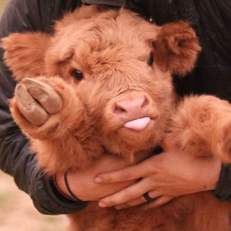 harry styles as baby cows: your new favorite thread