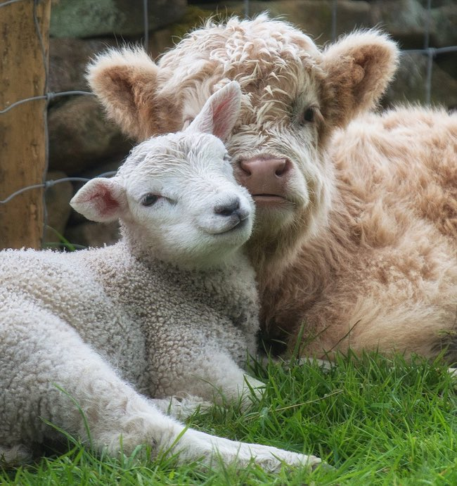 with lambs