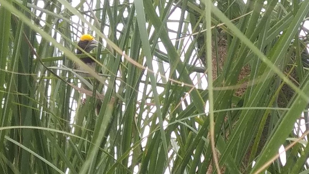 A Baya Weaver as constructing its nest deep inside the bush. Surely it's an architect of ultimate talent.  #birding #birdsofinstagram #birdphotography #nature #birdwatching #birds https://t.co/QYkYofcGIn