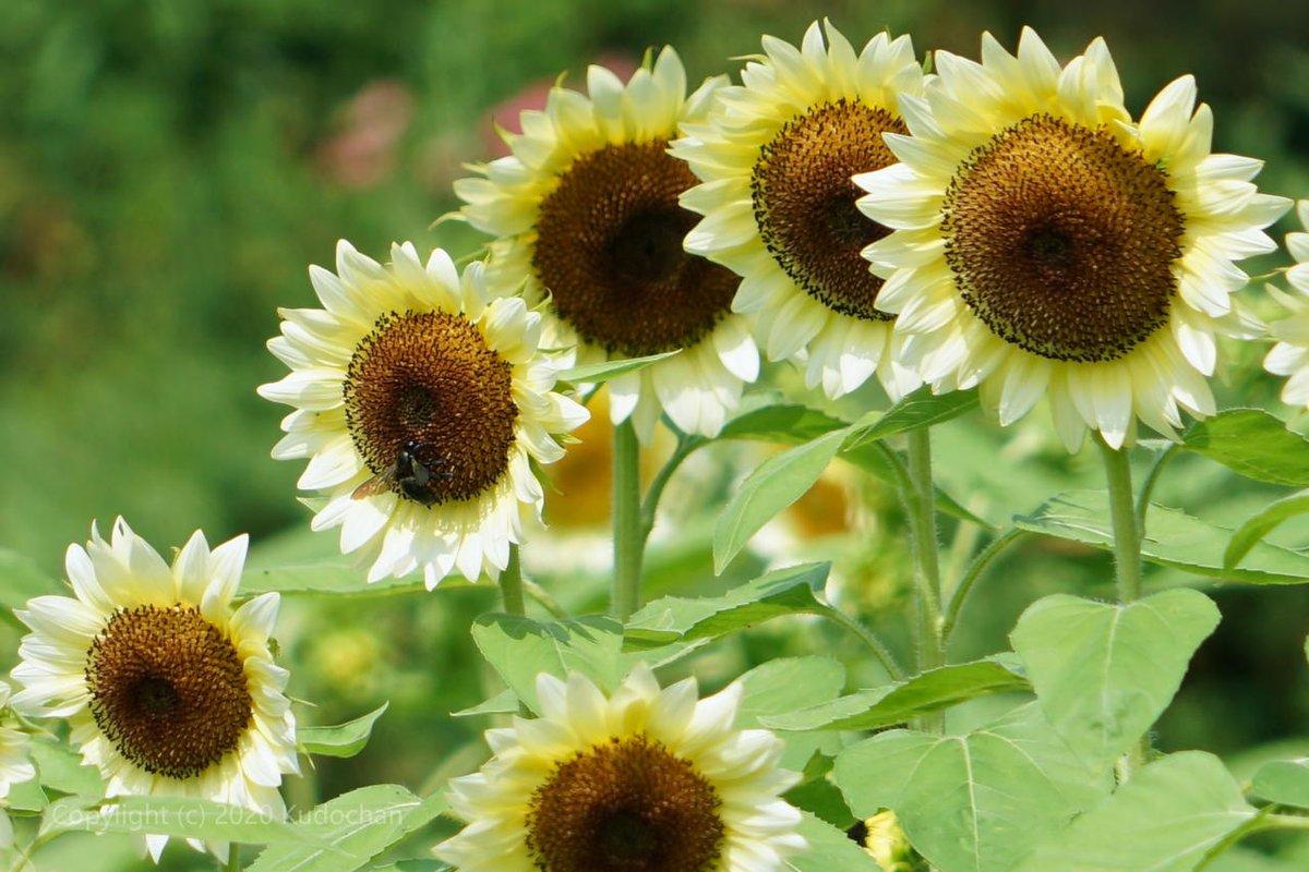 白いひまわり♪ちょっと涼しげな向日葵でした☆#向日葵 #ひまわり #TLを花でいっぱいにしよう