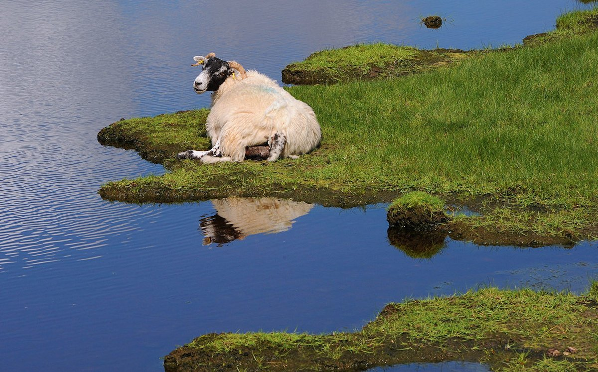 Either a sheep minding its own business by Loch Torridon or a MASSIVE sheep in South Wales: