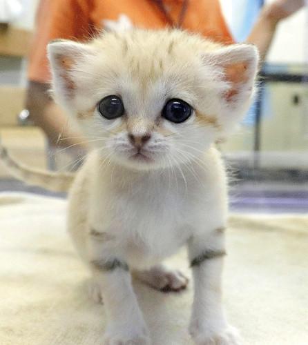 1000RT:【砂漠の天使】スナネコの赤ちゃん3匹誕生 那須どうぶつ王国7月9日に生まれた。このうち、人工哺育していた1匹を今月12日から公開。体長19cm、体重約312gまで成長したという。