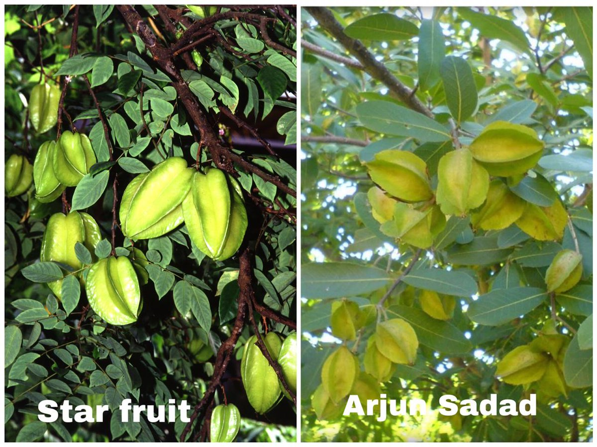 #DidYouKnow  Starfruit starts to produce fruit 3-4 years after planting. Mature tree can produce 200-400 pounds of fruit per year. Starfruit propagates via seed & grafting. Starfruit is rich source of dietary fibers, vitamins C, B2, B6 & B9 & minerals like potassium, zinc & iron pic.twitter.com/zu5b708BfA