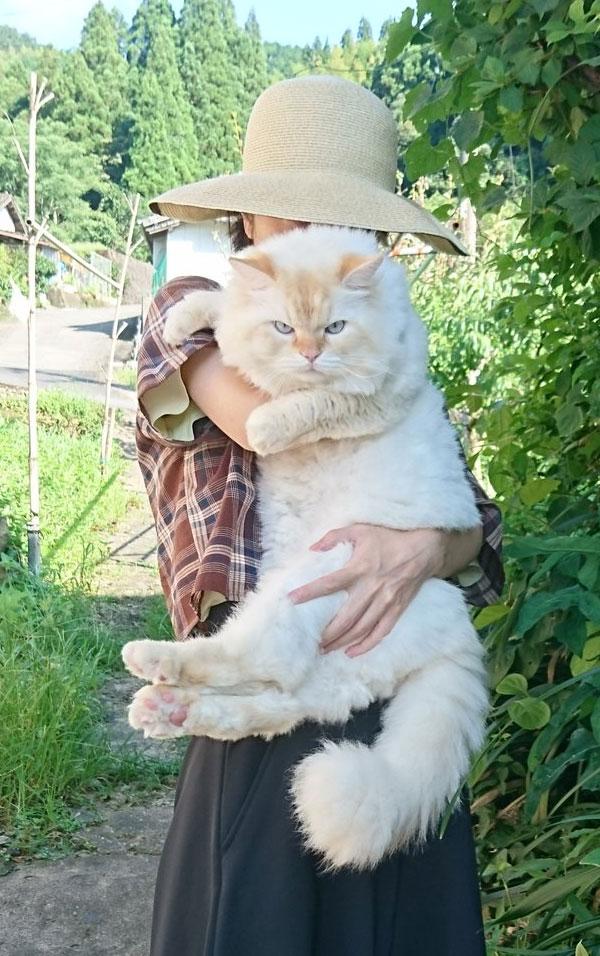 200RT 「でかすぎて最高な猫」がモッフモフで最高 存在感ばつぐんの巨大猫がかわいい