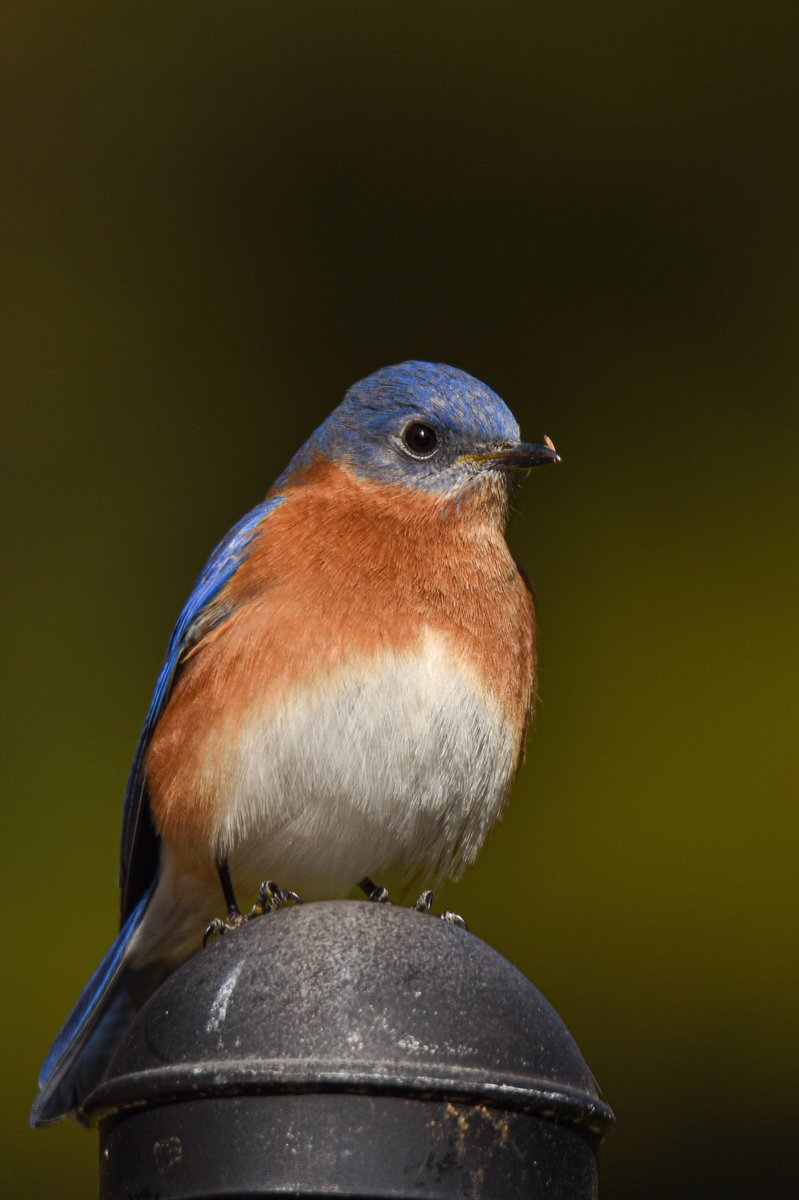 *VIEW FULL SCREEN PLEASE* When I get tied up with work I feel like I have to sneak back to Twitter to catch up with everyone! Here's a hard working Eastern BlueBird that I can completely relate to! #birds #birdtonic
