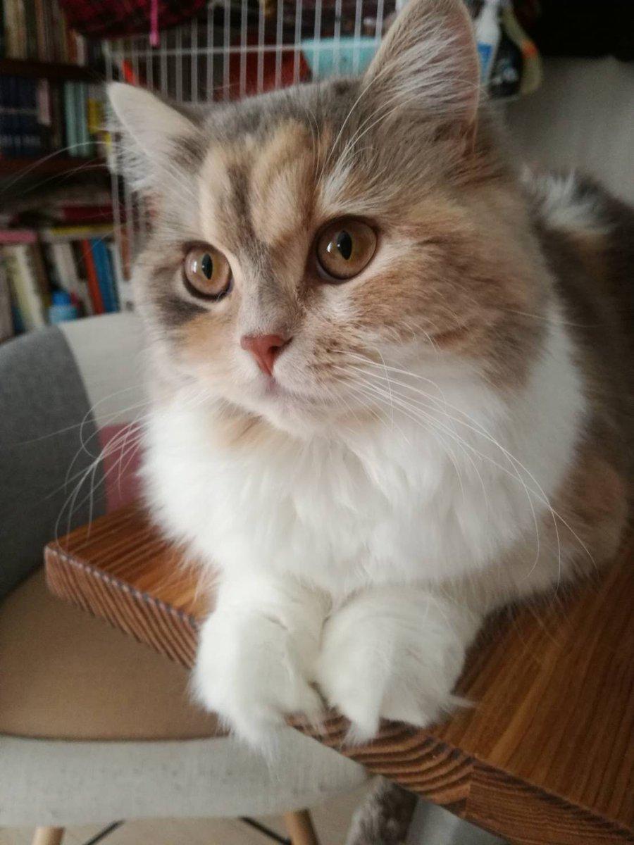 今日は #世界猫の日 らしいので我が家のにゃんこを紹介しちゃうぞぅ!いつも癒やしをありがとう!それはそれとして天クソ更新されてるので読んでくださーい!(ΦωΦ)!comicoノベル『天才クソ野郎の事件簿』