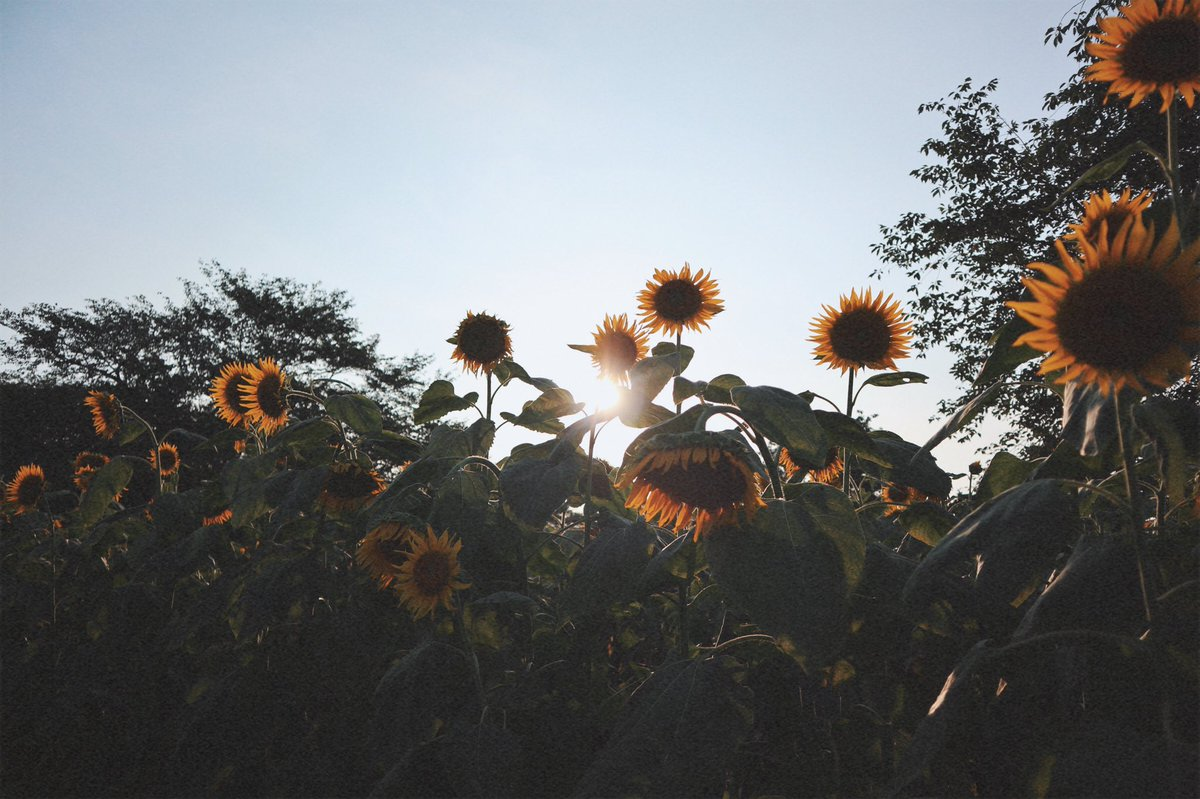 I went there last week where I can see a lot of sunflowers   Japan / Saitama   #photography pic.twitter.com/Yn7XjMIb7I