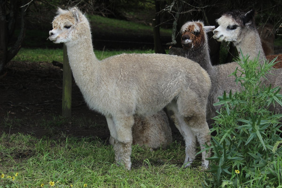 @specialtechie @teresagross625 I thought everyone had alpacas. How do they stay happy without alpacas? #pd4uandme