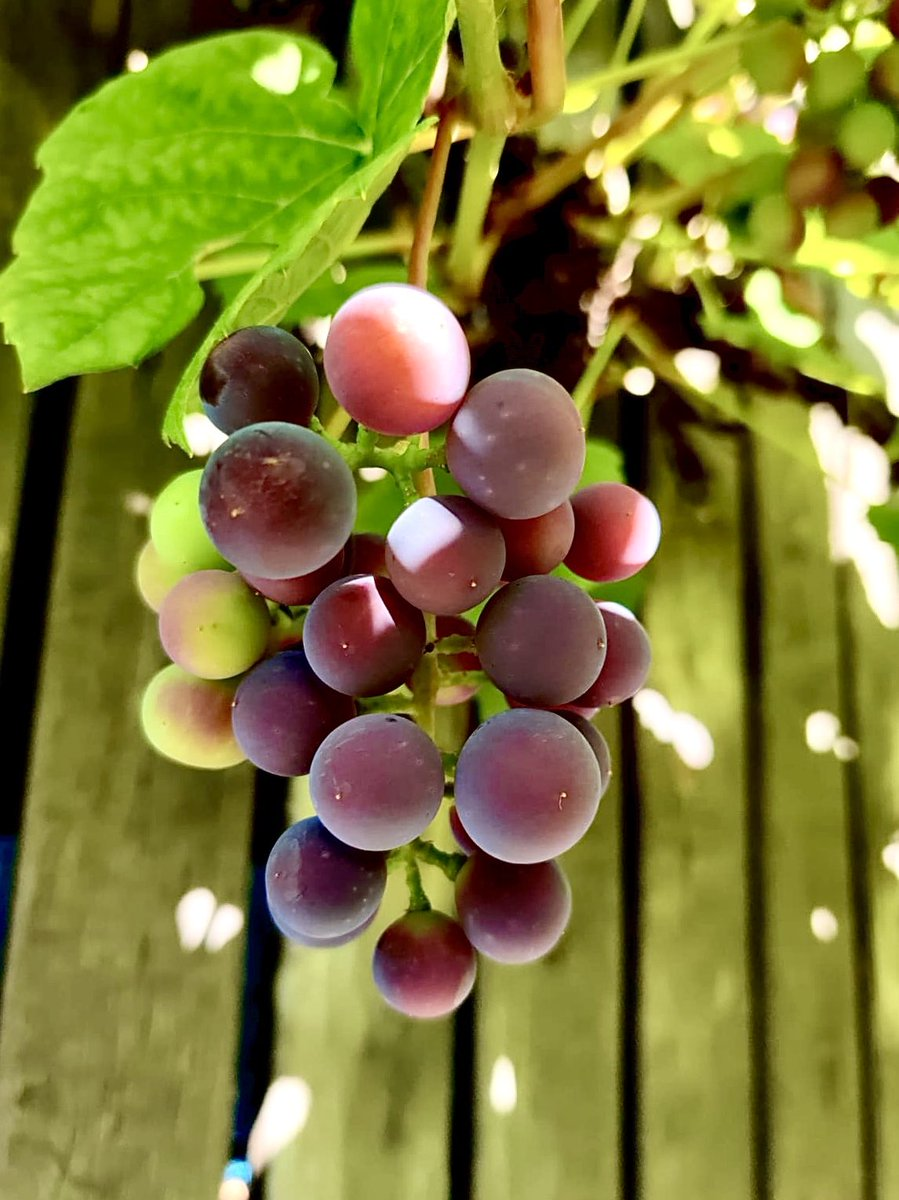 Scrumptious grapes almost ready to be harvested! #straightfrommygarden #GardenersWorld #sweden #Sverige #grapevinepic.twitter.com/hlSwUS899Y