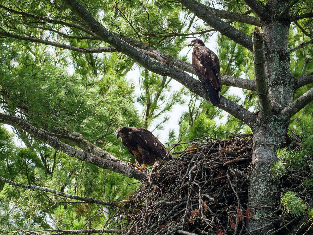 Found another Bald eagle nest - with siblings! https://buff.ly/3a6OgW0 #birdphotography #wildlifephotography #photography #nature #naturephotography #naturebeauty #naturelover #outdoorphotography #naturepics #photographers #naturetherapy #TwitterNatureCommunitypic.twitter.com/FtQmNX2aGf