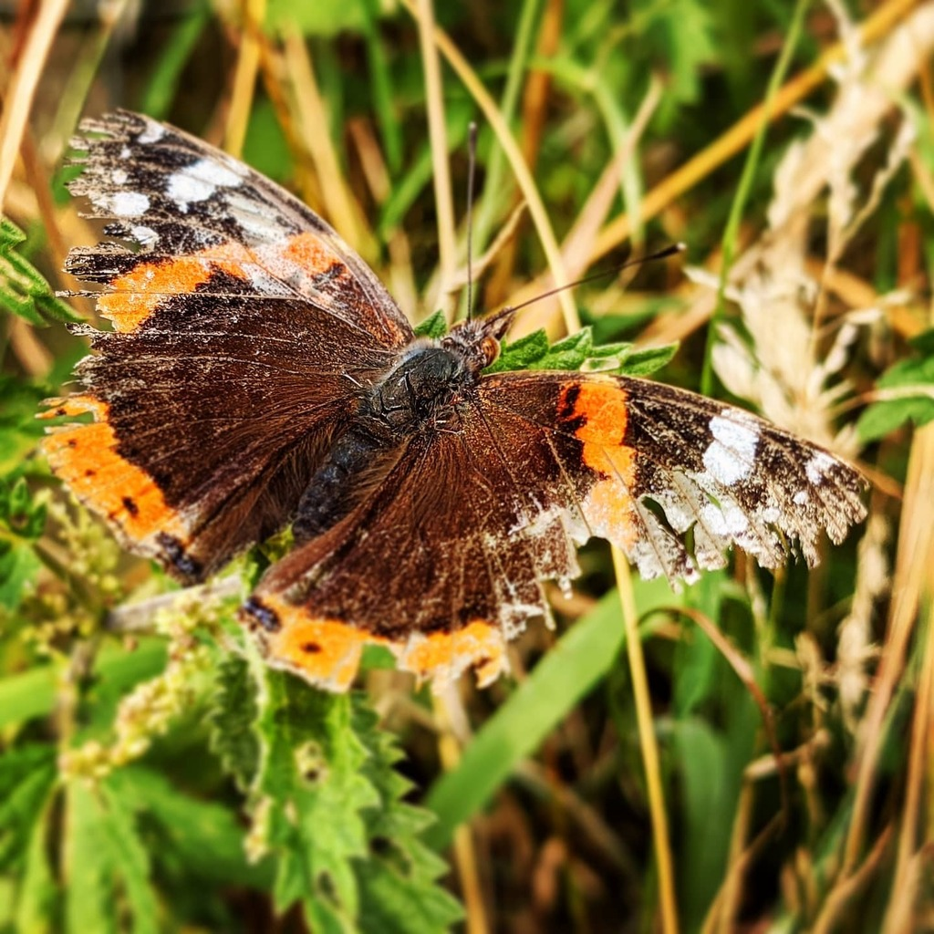 Spent a little time out of the city today, to reconnect with family and with nature for the first time this year thanks to lockdown and being cautious. You can probably work out which of the two is represented here. #butterfly #redadmiral https://t.co/cbd3QUyEZV https://t.co/Wa18GGhGtV