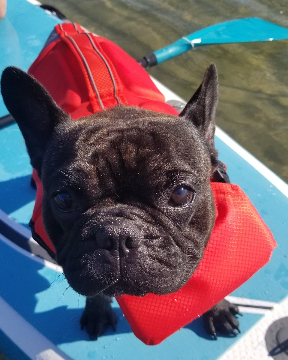 Safety first.   Kona rocking his new life vest for swimming and paddleboarding.   #safetyfirst #kona #frenchiespic.twitter.com/EZaX8PWLno