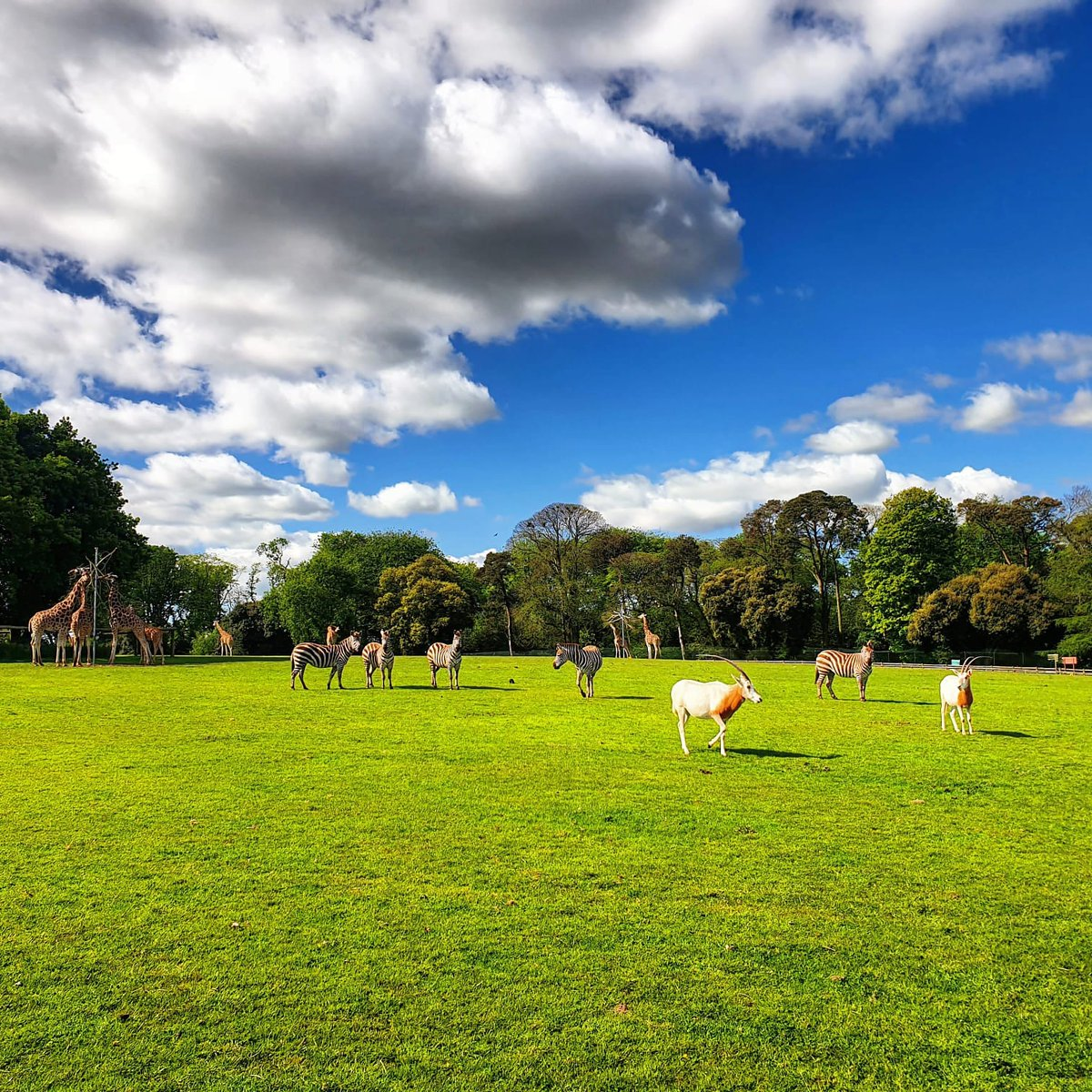 Those blue skies! Thanks to our ranger Liam for this brilliant photo showing the #Giraffe, #zebra and Scimitar-horned #oryx together in the park. https://t.co/twilpgojQV