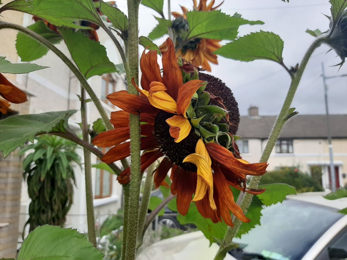 Not sure how unusual a double-headed sunflower is, but I have one in my garden. #fabra #Dublin7 #sunflowers https://t.co/ip6sfQfHiM