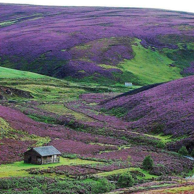 When the hills are alive with #Heather in the #ScottishBorders. Photo #VisitScotland #ScottishBanner #ScotSpirit #LoveScotland #Scotland #TheBanner #Alba #BestWeeCountrypic.twitter.com/8hGvvUH66B