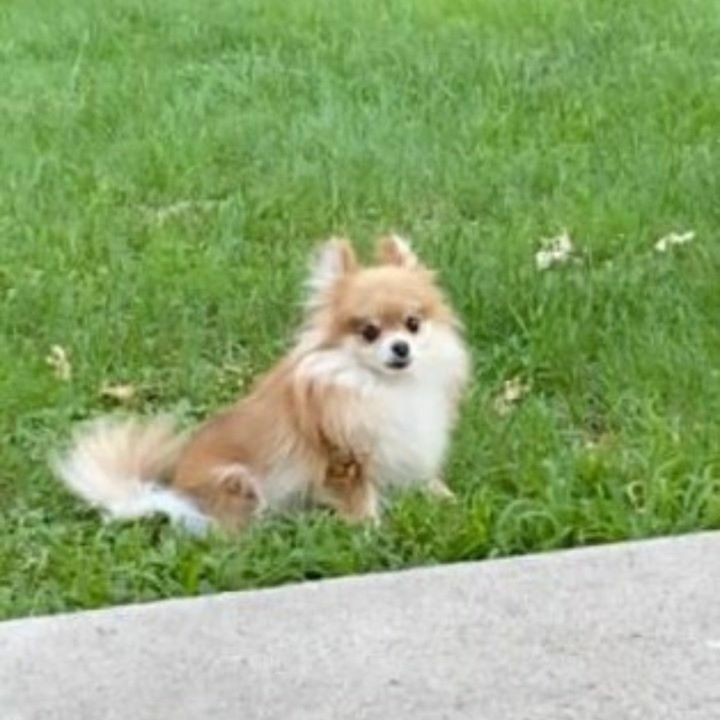 Lost Dog- Brainerd - Pomeranian Toy- Female  Date Lost: 08-08-2020  Dog's Name: Ellie  Breed of Dog: Pomeranian Toy  Gender: Female  Closest Intersection: Buffalo Creek Rd & St. Mathias Rd.  City where Lost: Brainerd  Zip Code 56401  County: Crow Wing  C… https://ift.tt/2DpyxFV pic.twitter.com/mg8bHDFzDa