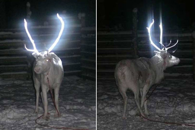 In Finland, reindeer are coated in reflective paint so they aren't hit by cars on the road at night. https://t.co/AQ3H3argkv
