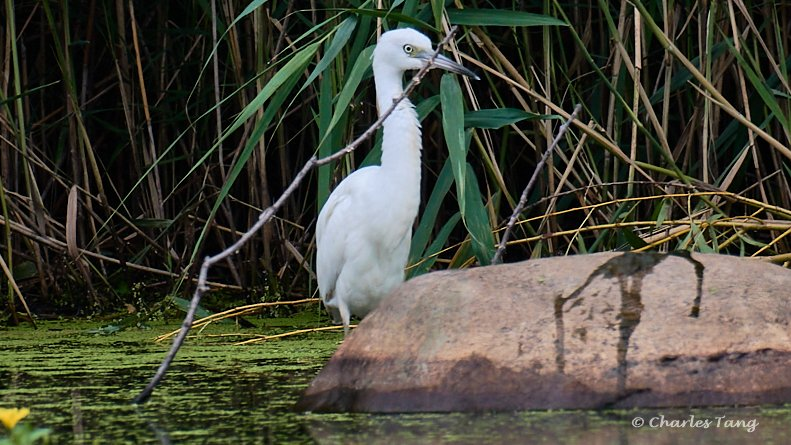 juvenile Little blue heron from yesterday and today at Prospect lake, Prospect park.
