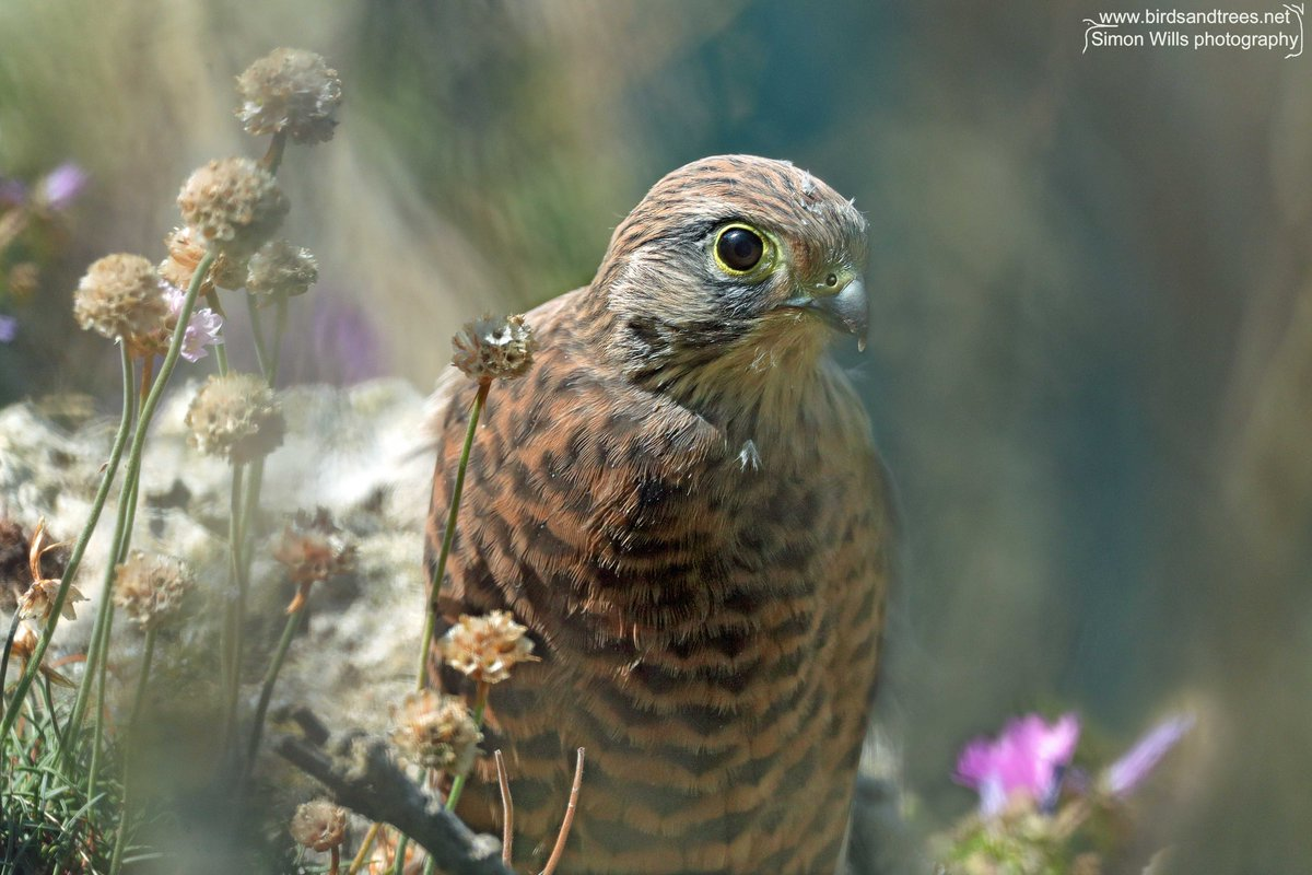 A kestrel fledgling glimpsed through the clifftop flowers. She was taking occasional very short flights, but still being fed by mum and dad. #birdtonic