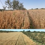 Image for the Tweet beginning: Cereal crop growth/yield has been