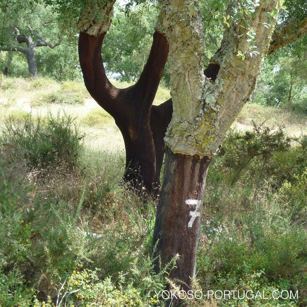 test ツイッターメディア - コルクの木。ポルトガルでは世界で使われる半分以上のコルクを生産しています。 #ポルトガル #コルク https://t.co/ASSecCQhNZ