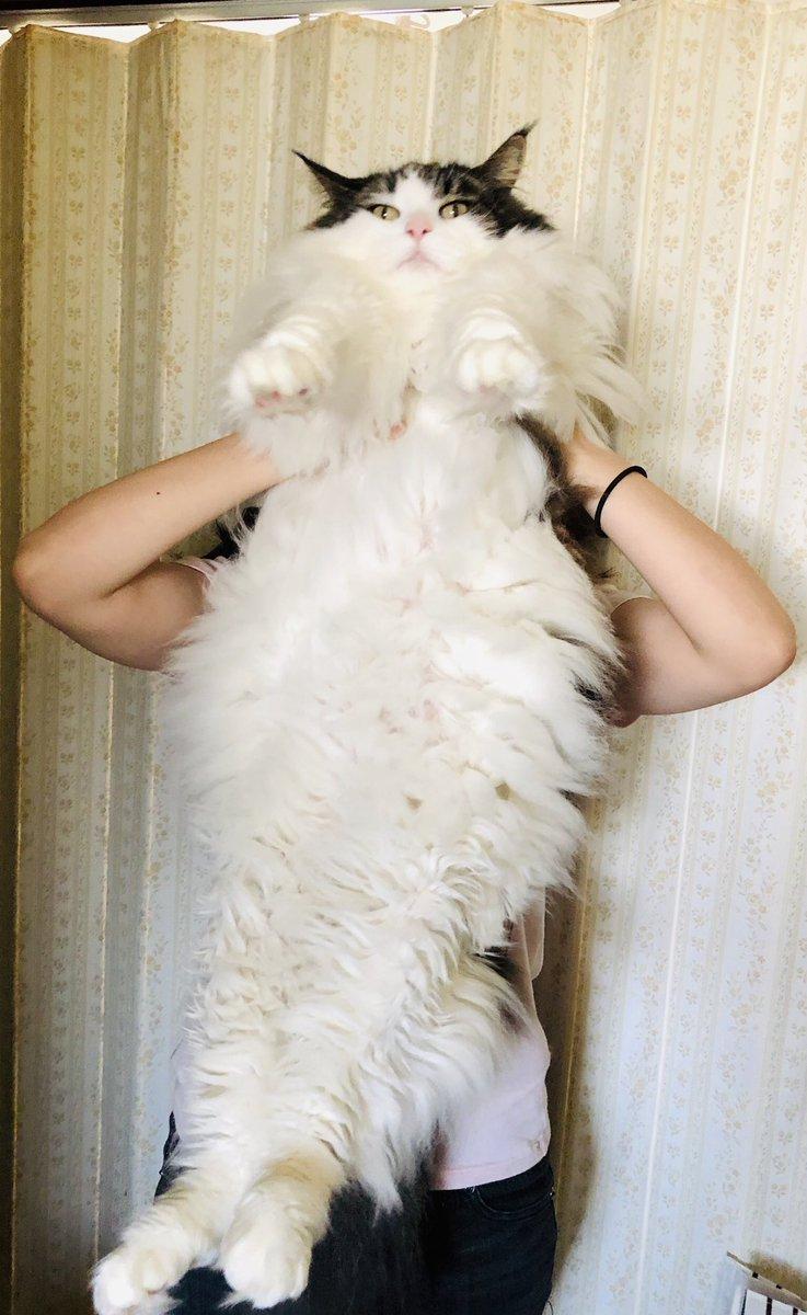 猫の最大種「メインクーン」は体長1mを超えてきます!!