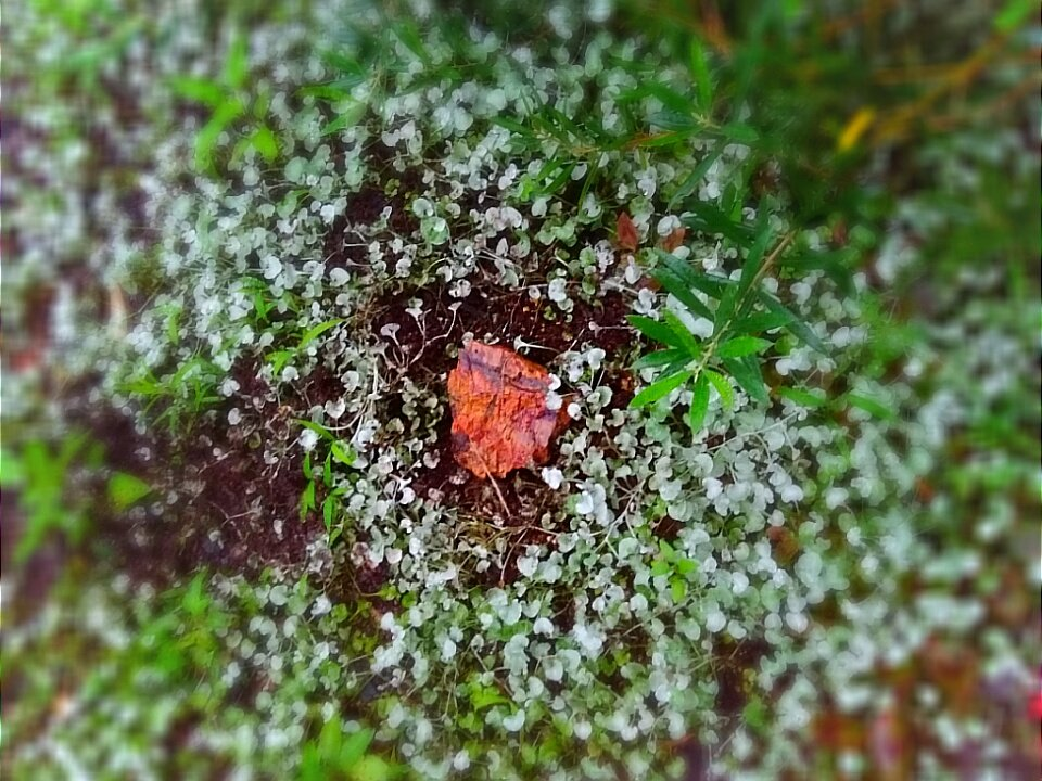 帰宅すると、ツバメのひなが1羽、巣から落ちて死んでいました。こんな事は初めてです。雨の中で娘と埋めてあげていたら、親兄弟の群れが空を旋回しました。お墓の周りに花が咲いてそっと優しく抱かれていた(忌野清志郎さんの「花はどこへ行った」)