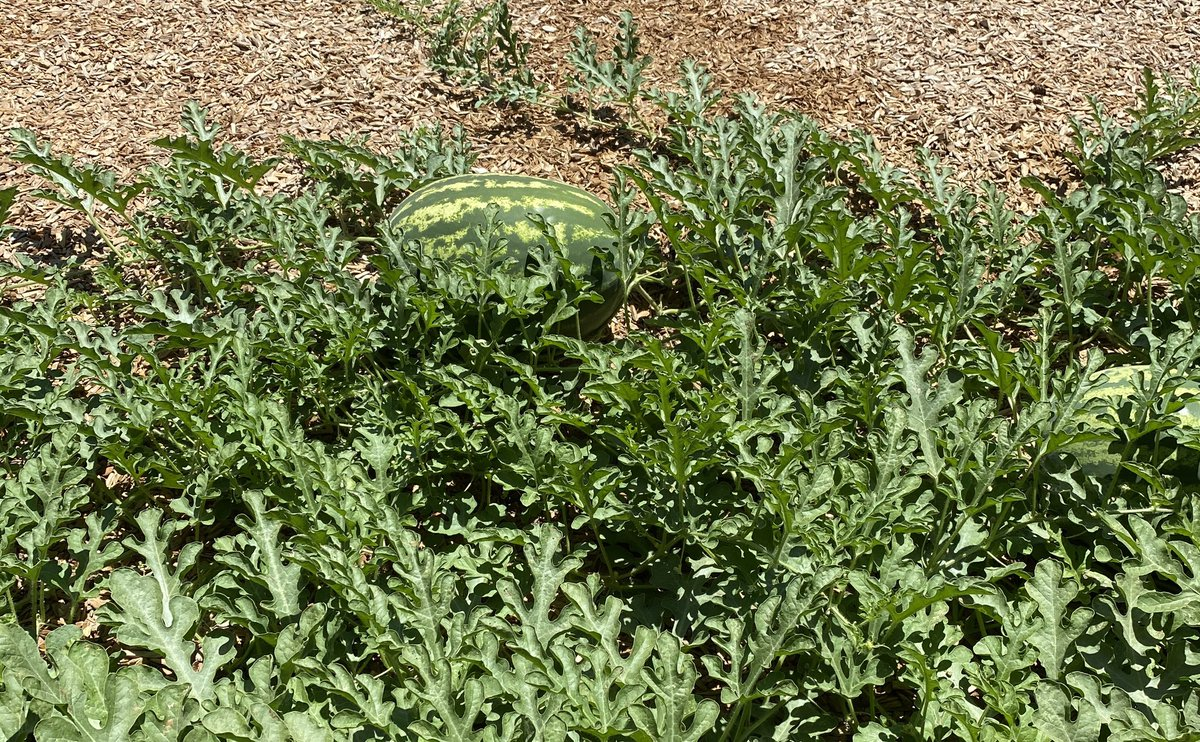 Look what was growing @BRS_Academy in the middle of one of the playgrounds...I guess 🍉 seeds were dropped by Ss accidentally before school closed & the plant thrived over summer!  Today @EdTechGarcia makes the most of the situation using @APLazer. #BRSAFabLab https://t.co/wK7Ml0u9be