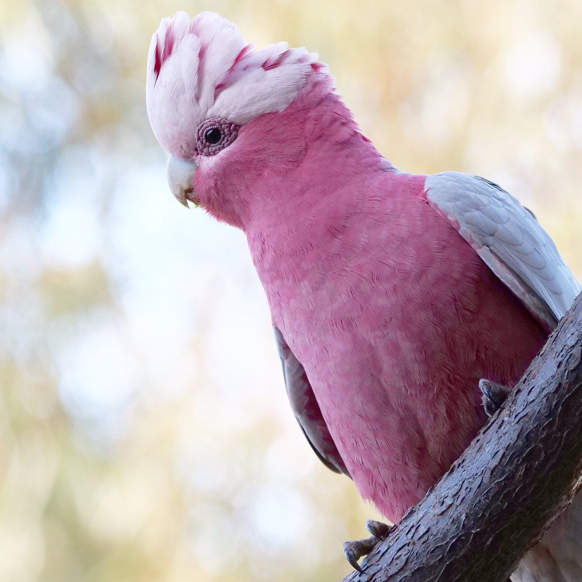 Portrait of a beautiful male galah ... 💕 I hope he brings a smile to those of you who need one  ❤️ @ParrotOfTheDay @BirdlifeOz #birdingathome @Australia #COVID19Vic #covid19australia #IstandwithDan https://t.co/oxi2sNZBvY