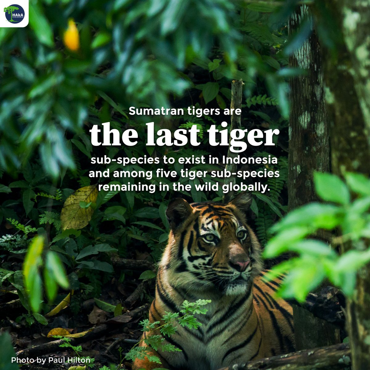 Habitat loss is the biggest threat that is bringing the #SumatranTiger to the brink of extinction. in this #GlobalTigerDay, let's spread the message of the importance of protecting the #LeuserEcosystem as the jungle for Sumatran tigers to  continue to roam freely in the wild. https://t.co/PX1VpnRE03
