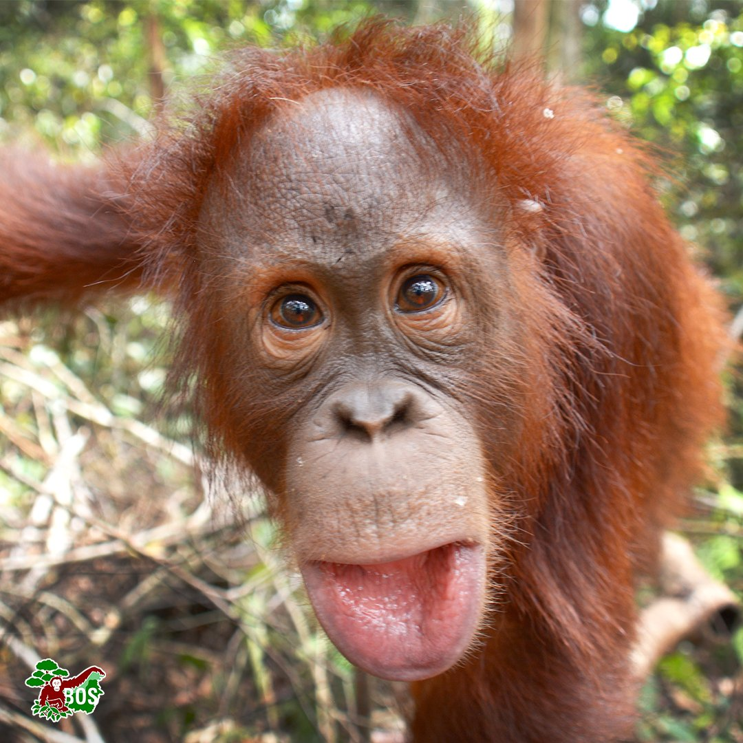 #PhotoOfTheWeek Fathia seems mesmerised by her own reflection in the camera. Looking good there, Fathia! #saveorangutanspic.twitter.com/t0tH7uMU8W