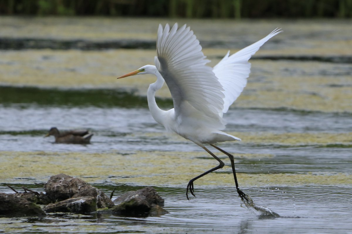 Great White Egret taken from the Peter Scott Hide @WWTLlanelli #TwitterNatureCommunity 🐦