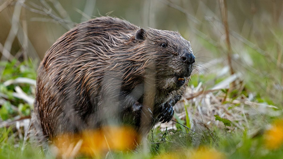 ¼ of our native mammal species are now at risk of extinction, including those in wetland habitats such as water vole and beaver. @Mammal_Society have led on producing the first official Red List > buff.ly/2Epckrr More on wetland mammals here > buff.ly/3g6i8nG