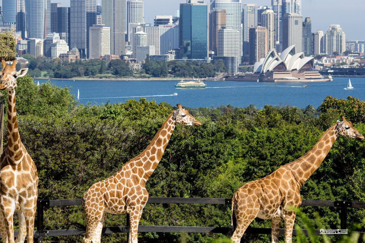 A while back at Taronga Zoo in Sydney. Surreal watching giraffes wander in front of a view of the Harbour and Opera House. Love it there. @tarongazoo #Sydney @SydneyOperaHouse #giraffes #SydneyHarbour pic.twitter.com/hdA1JiRZ2A
