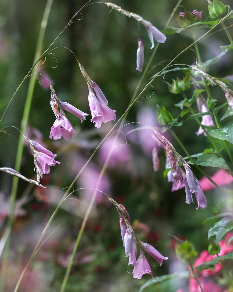 Angels fishing rods. . . . #angelsfishingrods #flowers #flowerlovers #floweroftheday #flowerstagram #nature #naturelovers #naturephotography #dof #raw_depthoffield #dof_brilliance #explore_dof #dofnature #multiexposure #doubleexposure #incamera #multiple… https://instagr.am/p/CDRD9npjWRs/pic.twitter.com/dUemFSACxY