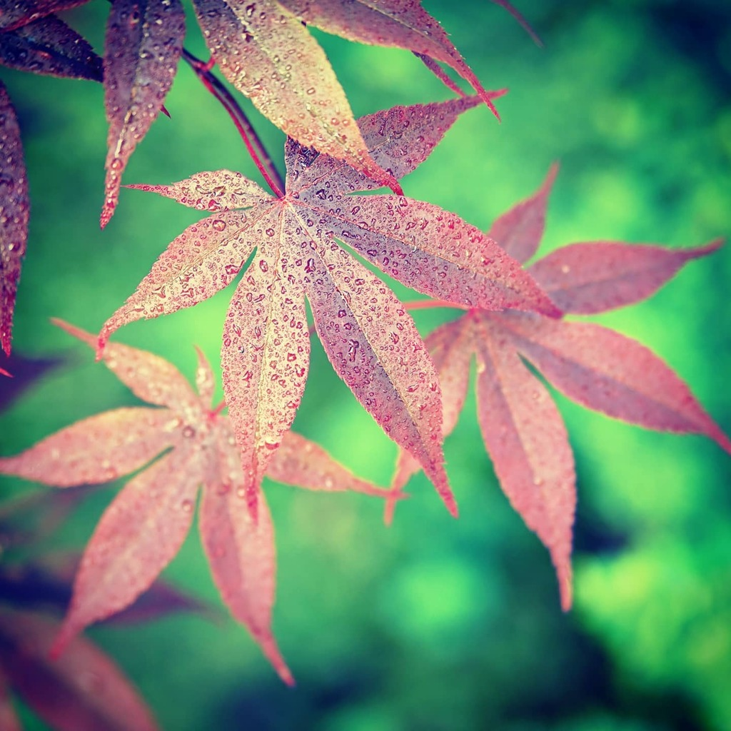 Red Leaves and Green Background  #epicnature #epicphoto #epicpicture  #leaves #green #red #toplandscapes #topshotoftheday #topnaturephoto #topshot  #coolfreepix #cool #free #creativecommon #ccby  https://t.co/2IZn17XDaz https://t.co/c2qdceJOb4