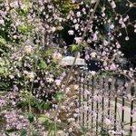 Image for the Tweet beginning: This front garden Thalictrum has