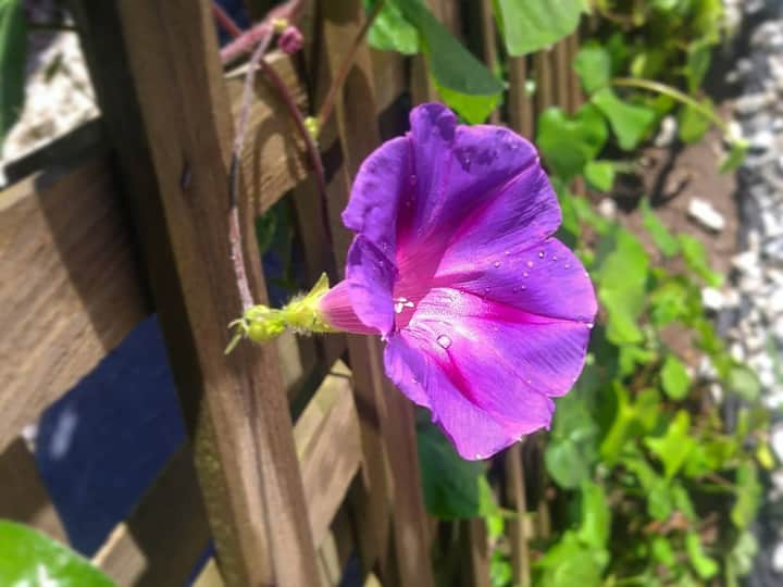 My first morning glory flower in bloom💜 #fruitofmylabor #fromseedtofruit #thankyouLordJesusforflowers https://t.co/GZjmP3F2eR