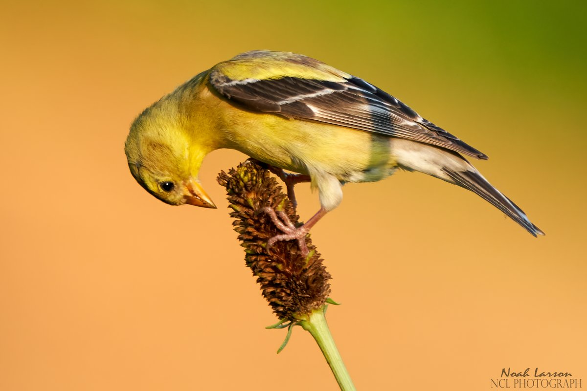 American Goldfinch hunting for seeds.  #birds #NaturePhotography #natureloverspic.twitter.com/Qprld5GY6n