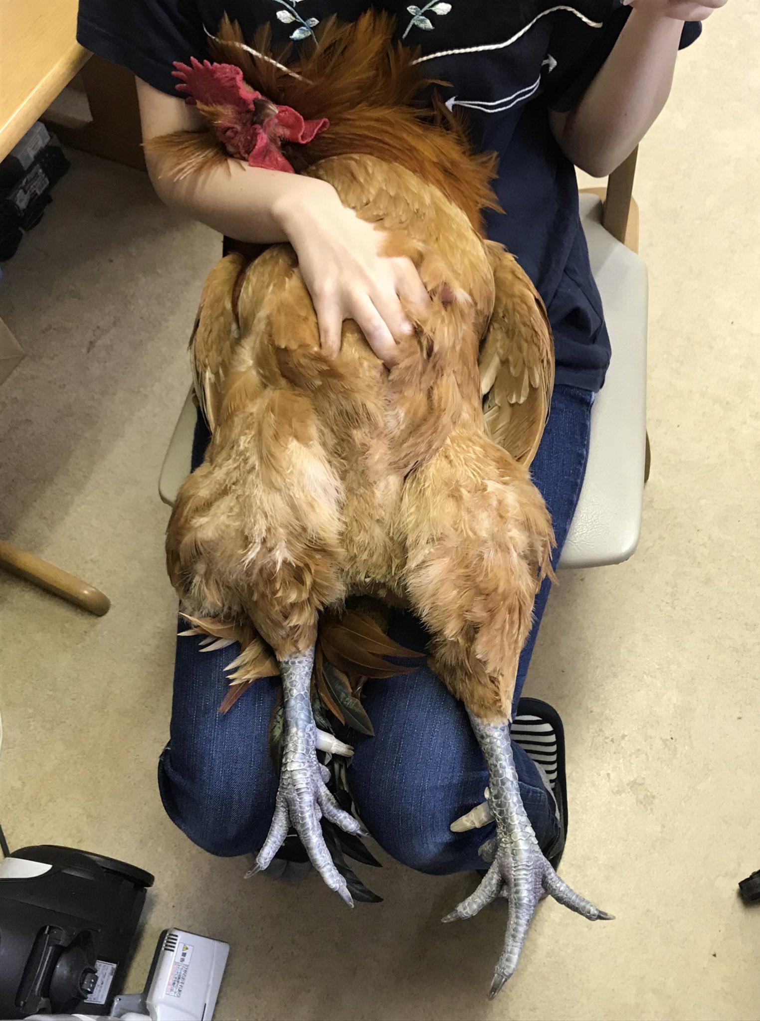 飼い主さんの膝でリラックスしているのは・・自分が鶏だということを忘れた鶏?
