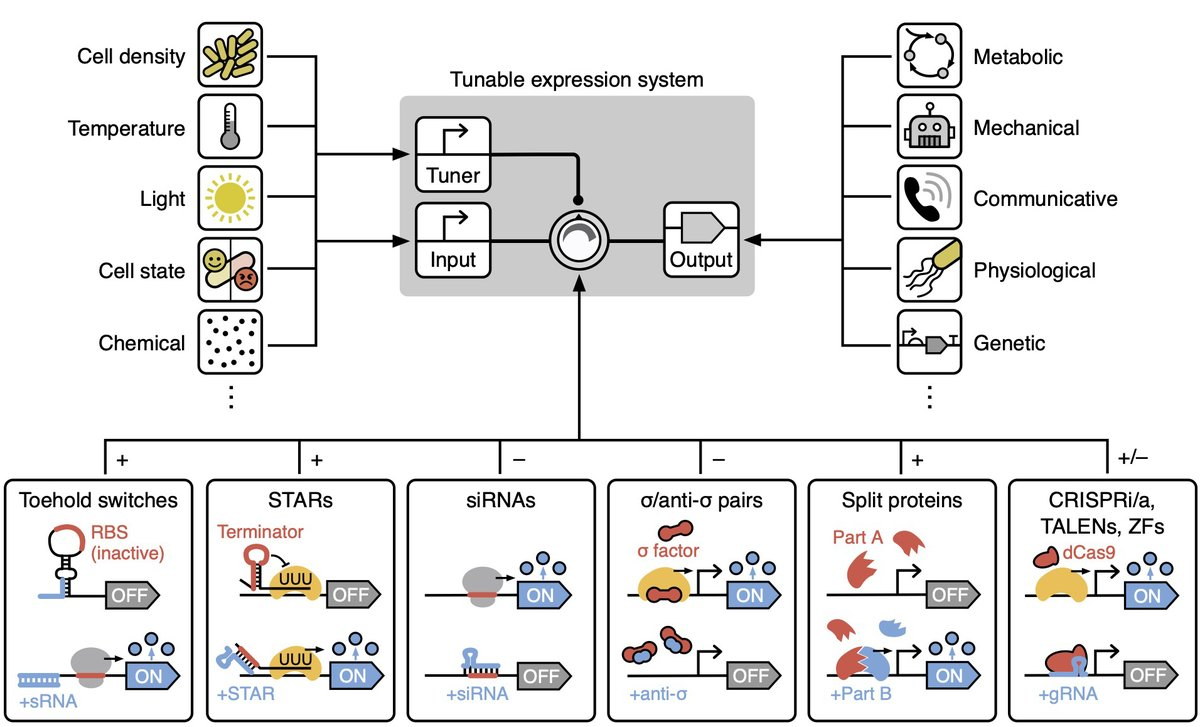 New short perspective preprint out with @vittoroli and @mdiberna on recent advances in tunable genetic parts/circuits and their possible application in the engineering of self-adaptive living systems! #synbio #control @BristolBioSci @BrisBioDesign preprints.org/manuscript/202…