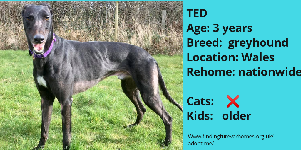 Please RT TED'S details to help him find his furever home findingfureverhomes.org.uk/dogs/ted/