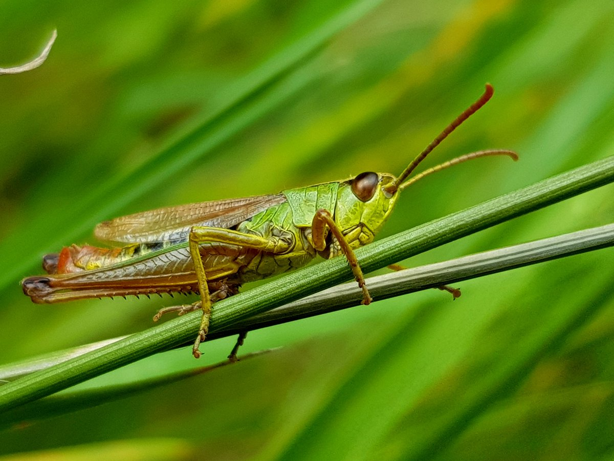 Todays Photo of the Day is this image of a grasshopper in the fields of Moulsoe Village, Buckinghamshire by Delfina Dos Santos. #BBCCountryfileMagPOTD